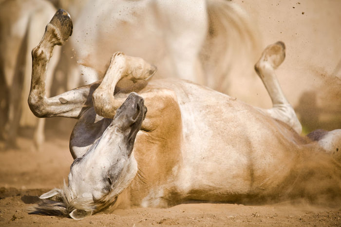 Animal Themes Mammal Animal Day No People Land Nature Dust Domestic Animals Group Of Animals Outdoors Kladruber White Horse Horses Rolling White Kladruber Mare On The Back Roll Dust Bath Sand Sand Bath Dustbath Feet Up