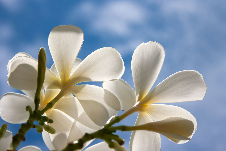 White Plumeria flowers with blue sky Hawaii Plumeria Plumeria Tree Beauty In Nature Bloom Blooming Blooming Flower Botany Close-up Flora Floral Flower Flower Head Fragility Freshness Growth Nature Outdoors Petal Plumeria Blossoms Plumeria Flower Plumeria Flowers Plumerias Tropical White