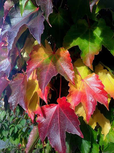 Leaf Autumn Change Nature Beauty In Nature Outdoors Day Forest Maple Leaf No People Fruit Red Multi Colored Growth Close-uplle farben] Colors Colour Of Life Colerfull in Color Portrait close-upFragilityyMapleeFreshnesssWaterr