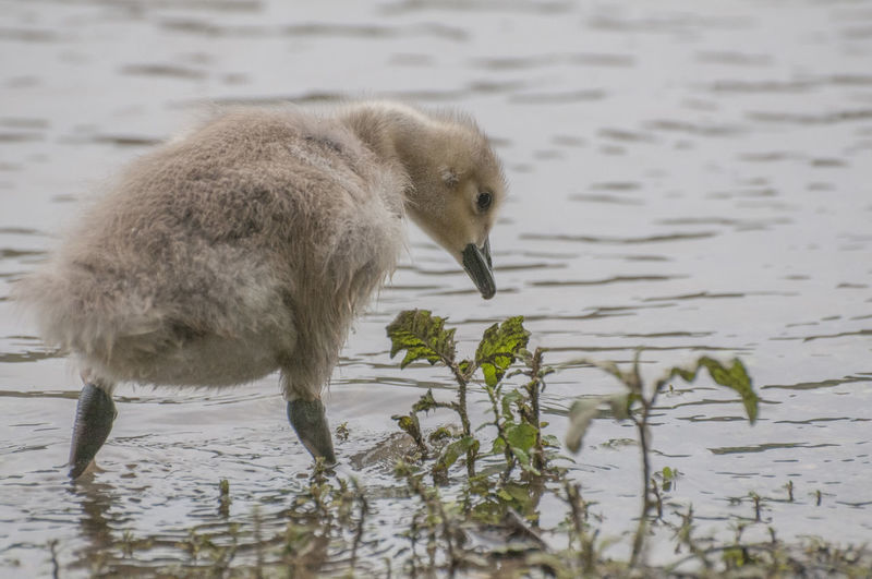 Close-Up Of Cygnet In Lake