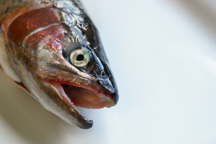 Fresh Rainbow Trout on White Plate Fresh Fish Animal Head  Animal Themes Close-up Close—up Fish Fish Market Fish Monger Fishing Fishy Food food stories Fresh Food Freshness Healthy Eating Market Fresh Nature No People One Animal Rainbow Trout Trout