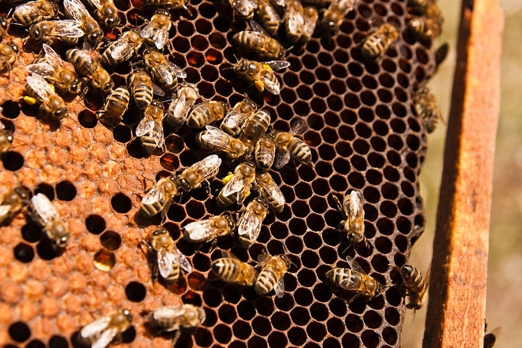 Animal Animal Themes Animal Wildlife Animals In The Wild APIculture Beauty In Nature Bee Beehive Close-up Day Group Of Animals Hexagon Honey Honey Bee Honeycomb Insect Invertebrate Large Group Of Animals Nature No People