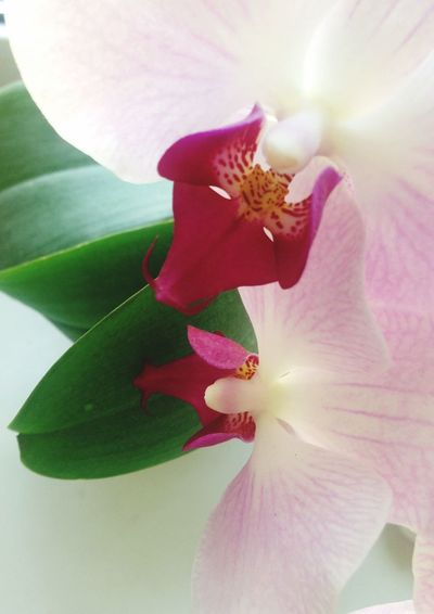 Flowers Orchid Flower Head Beauty In Nature Fragility Close-up Orchid Blossoms Plant Blooming