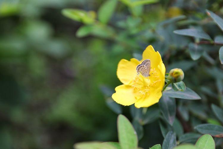 망종화의 꿀은 무슨 맛이니? . . #하루한컷 #망종화 #가마쿠라 #하세역주변 #5DMARK4 #신계륵 #EF2470F28LIIUSM Flower Perching Flower Head Full Length Yellow Butterfly - Insect Insect Spread Wings Leaf Close-up