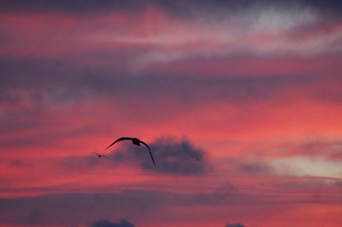 Animal Themes Animal Wildlife Animals In The Wild Beauty In Nature Bird Cloud - Sky Day Flying Mid-air Motion Nature No People One Animal Outdoors Paragliding Scenics Silhouette Sky Spread Wings Sunset Tree Water