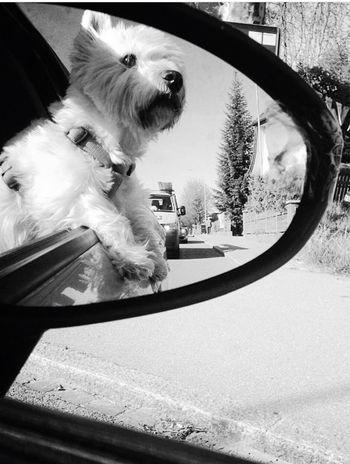 Always in my heart. Miss you Dog Pets One Animal Animal Themes Window Car Westhighlandwhiteterrier Terrier Gini Bestdog  Cutedog MissHer Inmemory Autofenster Rückspiegel Blackandwhite Alwaysinmyheart Uniqueness