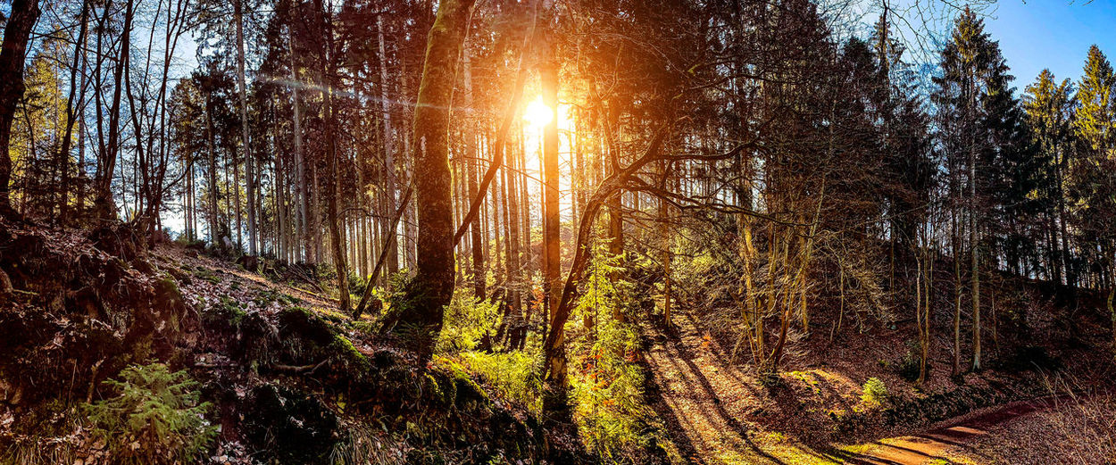 Sunlight streaming through trees in forest against bright sun