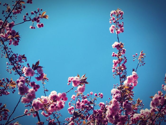 ◽ heavenly ◽ Check This Out Blossom Blue Sky Pink Flowers Pink Blossom Beauty Beauty In Nature Lindsay's Initial Concepts Tree_collection  Pink Blossoms Tree Blooming Blooms Fresh Beauty Nature Environment Enlighten Envigure Bright Flowers The Moment Sky And Branches Pastel Blue Is The Hue Showcase May Trees And Sky EyeEm Nature Lover EyeEm Best Edits The Great Outdoors With Adobe Popular Photos The Week On Eyem Millennial Pink