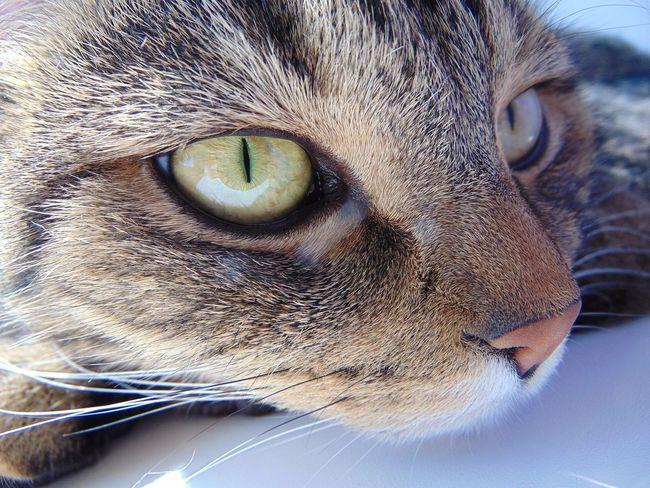 кот котэ няша лапа пупсик шотландец красота Природа усатик глаза  Cat Eyes