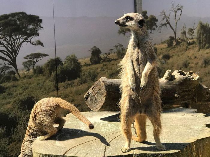 Meerkat Animal Animal Themes Plant Tree Nature Animal Wildlife Sunlight Zoo
