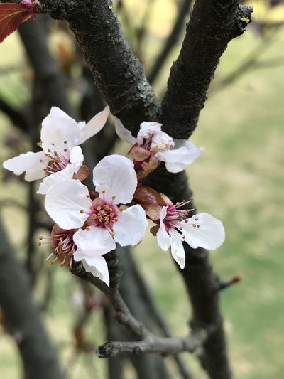 Flower Fragility Petal Growth Nature Beauty In Nature Blossom Tree Freshness Flower Head White Color Botany Day Close-up Branch No People