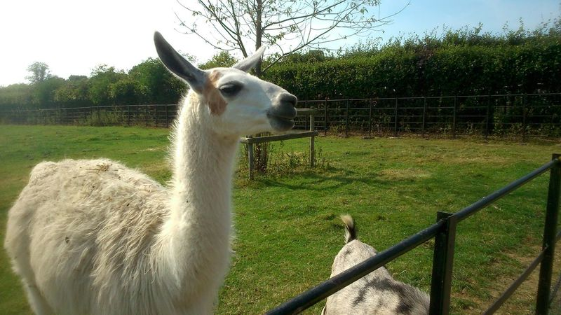 Lamaphotography Lamma Lama Animal Animal_collection Farm Animals Farm Farm Life Grass Graves Park, Sheffield Tree