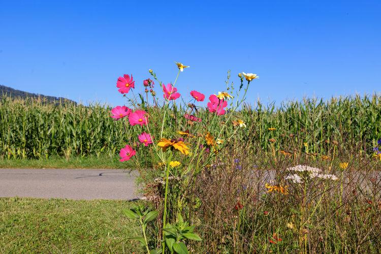 Flowering plants on field against clear blue sky