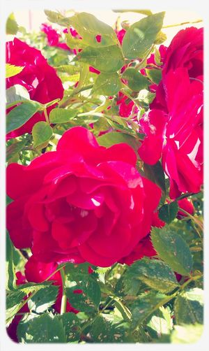 My Beautiful Roses  Red Flower Oh Happy Day Hello World