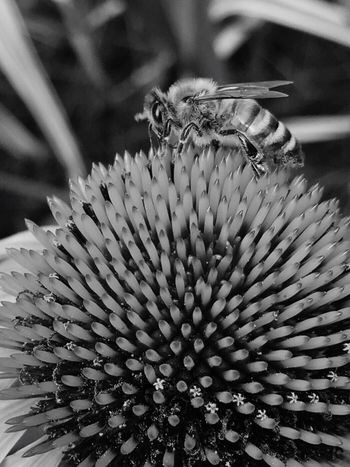 Bee Bee Black And White Honey Bee Flower And Bee Coneflower Coneflower And Bee Bee Close Up Bee Close-up