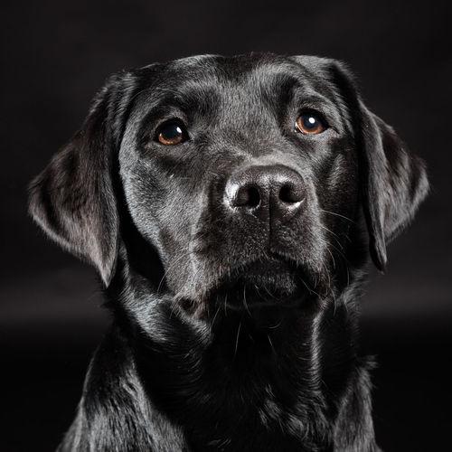 Close-up of black labrador at home