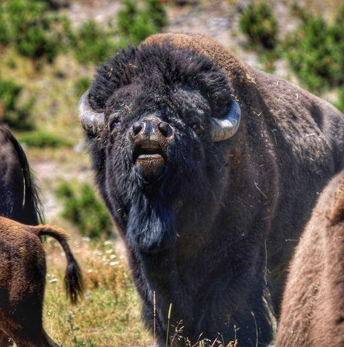 Testing The Air Yellowstone National Park Ladies Man Challenge Bison Mammal Animal Wildlife Animals In The Wild Vertebrate Group Of Animals Nature Outdoors Herbivorous