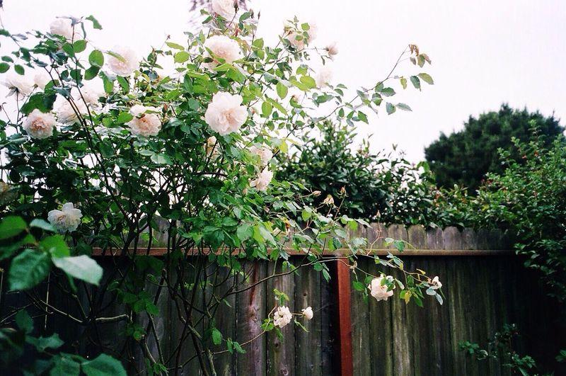White Roses Expired Film In My Garden Klasse W