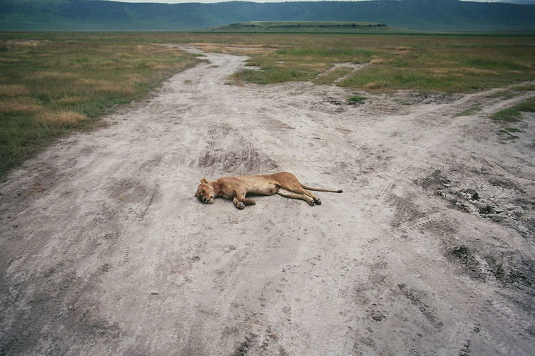 High angle view of lioness sleeping on field