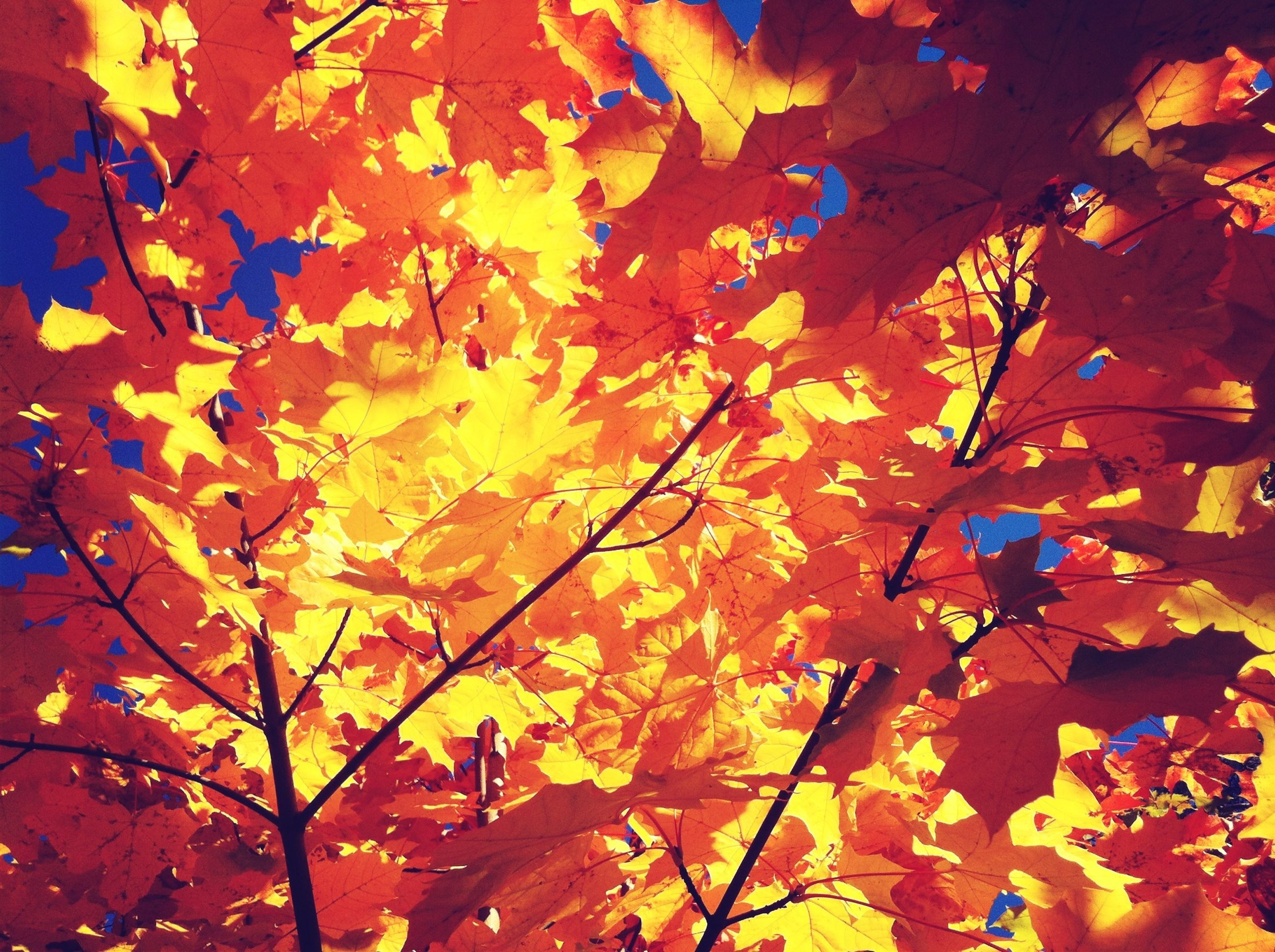 autumn, change, low angle view, orange color, leaf, full frame, branch, backgrounds, tree, season, nature, growth, beauty in nature, sunlight, leaves, tranquility, no people, outdoors, yellow, close-up