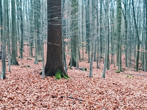 One in a million Nature Photography Sonian Forest Season  In The Forest Trees Tree_collection  Brussels Nature Moss Vscocam VSCO Mobilephotography Mobile Photography Smartphonephotography Leaves Showcase: January XPERIA Simplicity Rows Of Things Here Belongs To Me