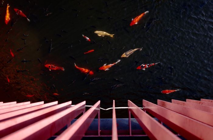 Fishes Pond Lake Urban Space Park Top Perspective No People Negative Space Composition Taichung, Taiwan Taichung Taichung Park Daylight Dark Background Red Fishes Asian