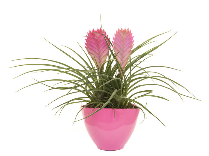 Pink bromeliad plant in a pink flower pot isoalted on a white background Bromeliad Isolated Pink Bromeliad Flower Flower Flowerpot Pink Bromeliad Pink Color Plant Potted Plant Studio Shot White Background