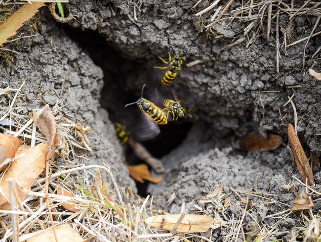 Vespula vulgaris. Destroyed hornet's nest. Drawn on the surface of a honeycomb hornet's nest. Larvae and pupae of wasps. vespula, vulgaris, wasp, mink, nest, fly, destroyed, gutted, killed, collapsed, dead, dismantled, pulled, larvae, pupae, death, excavated, sting, predator, forager, insect, striped, hymenoptera, animals, colony, insects, macro, nature, poisonous, summer, stinger, antenna, filigree, stinging, bee, hexagon, hornet, bug, wasps, chew, wing, fragility, common, pollen, laying, wood, paper, honey, arthropoda, vespiary Animal Themes Animal Wildlife Animals In The Wild Bird Close-up Day Insect Mammal Nature No People One Animal Outdoors Vespula Vespula, Vulgaris, Wasp, Mink, Nest, Fly, Destroyed, Gutted, Killed, Collapsed, Dead, Dismantled, Pulled, Larvae, Pupae, Death, Excavated, Sting, Predator, Forager, Insect, Striped, Hymenoptera, Animals, Colony, Insects, Macro, Nature, Poisonous, Summer,  Vulgaris Wasp