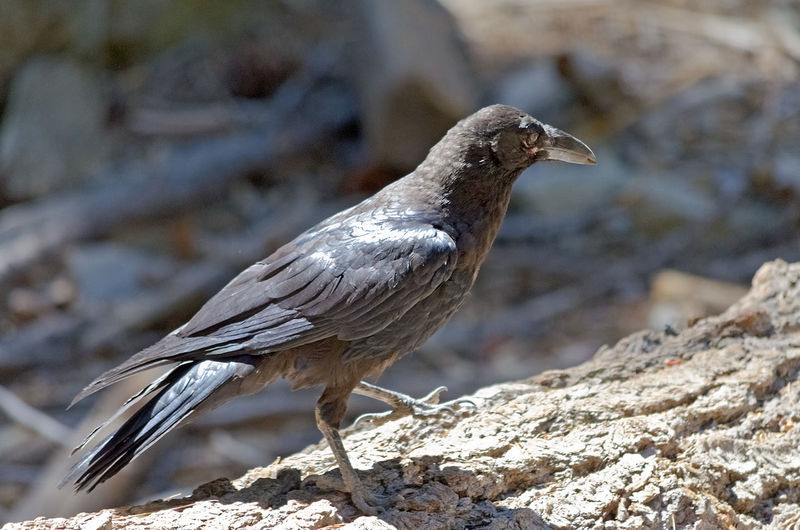 Black Crow, Yosemite National Park, California, USA Animal Themes Animal Wildlife Animals In The Wild Beak Bird Bird Of Prey Close-up Day Focus On Foreground Mourning Dove Nature No People One Animal Outdoors Perching Rock - Object Sunlight