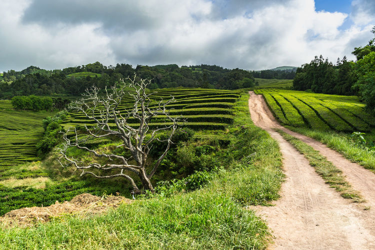 Tea Plantation in Sao Miguel, Azores Azores Portugal Sao Miguel-Azores São Miguel - Açores Tea Agriculture Beauty In Nature Cloud - Sky Day Environment Field Green Color Growth Land Landscape Nature No People Outdoors Plant Rural Scene Scenics - Nature Sky Tea Plantation  Tranquil Scene Tranquility Tree