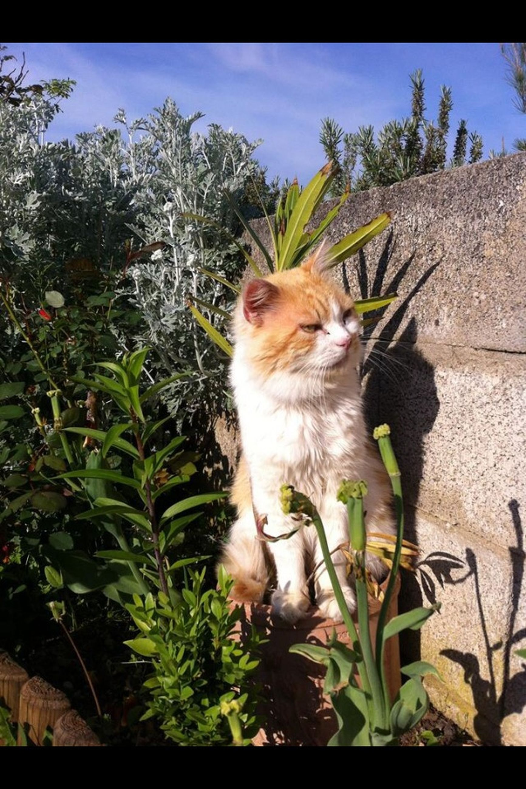 one animal, mammal, animal themes, pets, domestic animals, domestic cat, plant, cat, growth, sky, feline, low angle view, sitting, front or back yard, portrait, leaf, tree, sunlight, nature, looking at camera