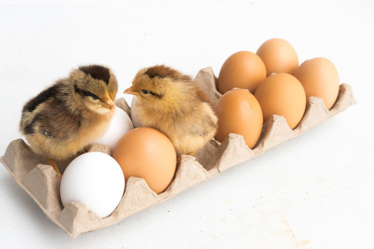 Animal Egg Animal Themes Baby Chicken Bird Brown Chicken - Bird Close-up Domestic Animals Egg Egg Carton Food Food And Drink Fragility Freshness Indoors  New Life No People Studio Shot White Background Young Animal Young Bird