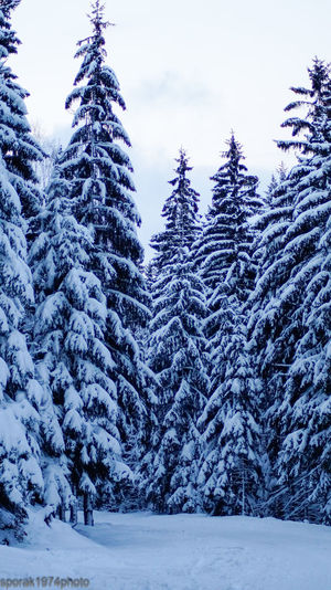 Forest in the Szklarska Poręba. Snow ❄ Snowy Trees Mountains Winter
