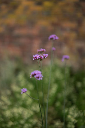 Shallow Depth Of Field Beauty In Nature Blooming Close-up Day Flower Flower Head Focus On Foreground Fragility Freshness Growth Lilac Nature No People Outdoors Pink Color Plant Purple Purple Flower Verbena Bonariensis