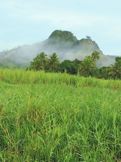 Landscape Nature Agriculture No People Tree Sky Rural Scene Growth Outdoors Green Lush - Description Beauty In Nature Day Fiji Mountain