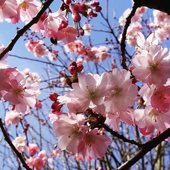 Spring Spring Flowers Flower Head Tree Flower Branch Springtime Backgrounds Pink Color Plum Blossom Blossom Petal Cherry Blossom Pistil Fruit Tree Flora