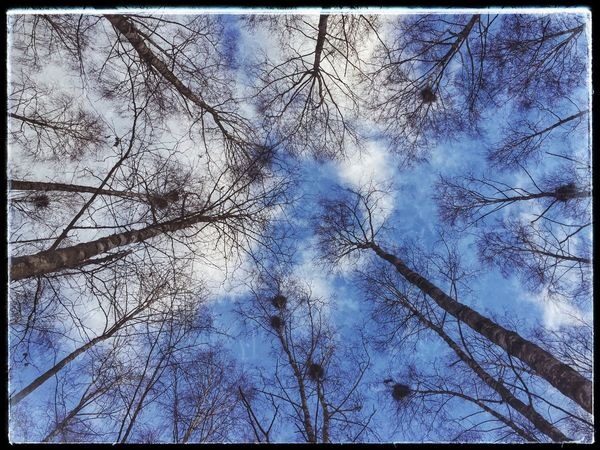 February Blue Sky Crows Nests Birch Wood Winter Showcase: February Belarus In The Park No People
