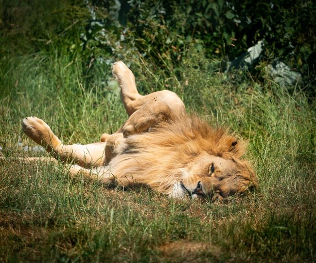 Catching the rays Grass Relaxing Belly Up Cat Feline Lying On Back Male Lion Mammal Rsting Sunny Dy Watching
