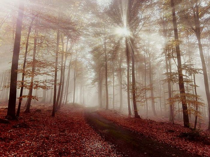 Tree Nature Sunbeam Sunlight Tranquility Forest Fog No People Outdoors Beauty In Nature Day Landscape Alsacefrance Alsace Automne🍁🍂🍃 Autumn Colors Autumn🍁🍁🍁 Scenics Alsacia Autumn Smart Simplicity Nature My Year My View