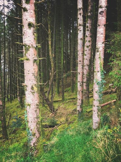 Tree Trunk Forest Tree Nature No People Day Tranquil Scene Growth Tranquility Outdoors Pine Tree Scenics Landscape Beauty In Nature Grass Rural Scene