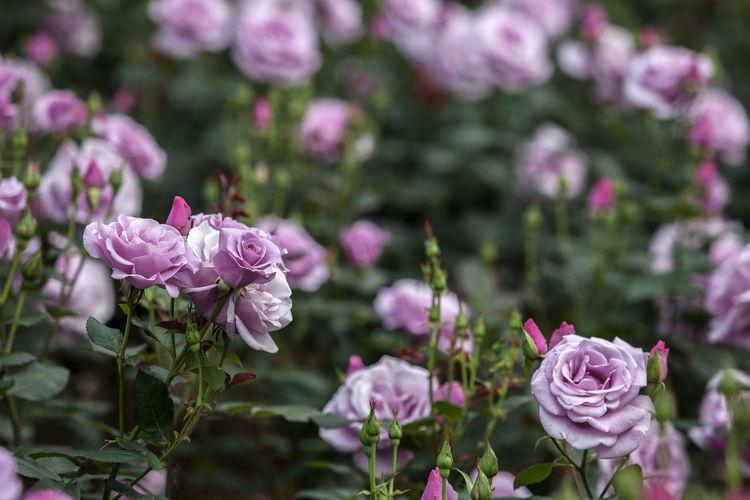 Purple roses blooming in park