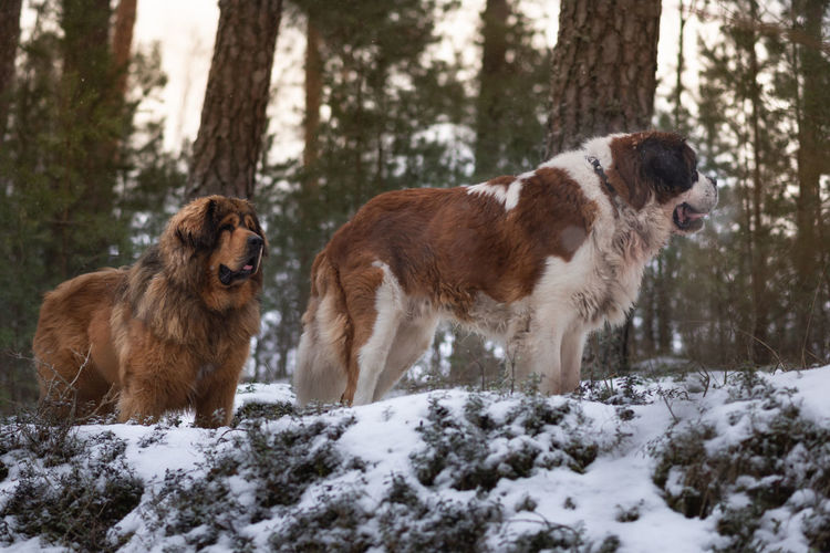 Two dogs on snow covered land