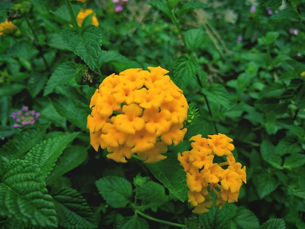 Expected species: Lantana camara Flower Freshness Plant Beauty In Nature Blooming Nature Flower Head Yellow Close-up Growth Petal Macro INDONESIA Universitas Padjadjaran