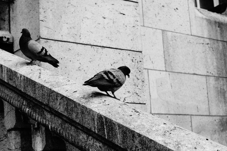 Pigeons perching on retaining wall