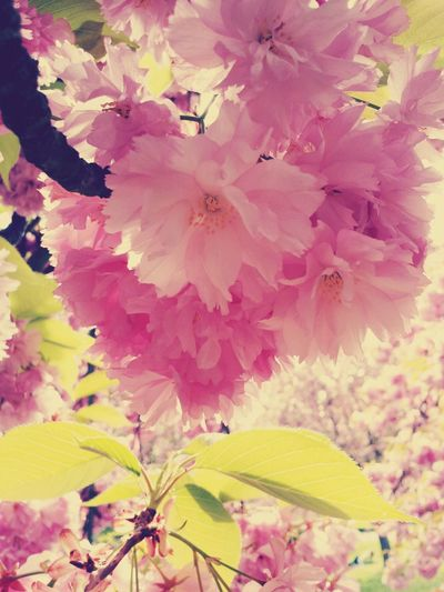 Ohanami Flowers Sakura Blossoms