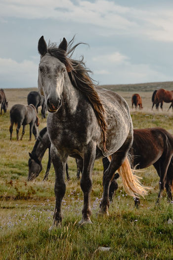 Feral horses, full-body portrait of a grey horse with the herd in the background.