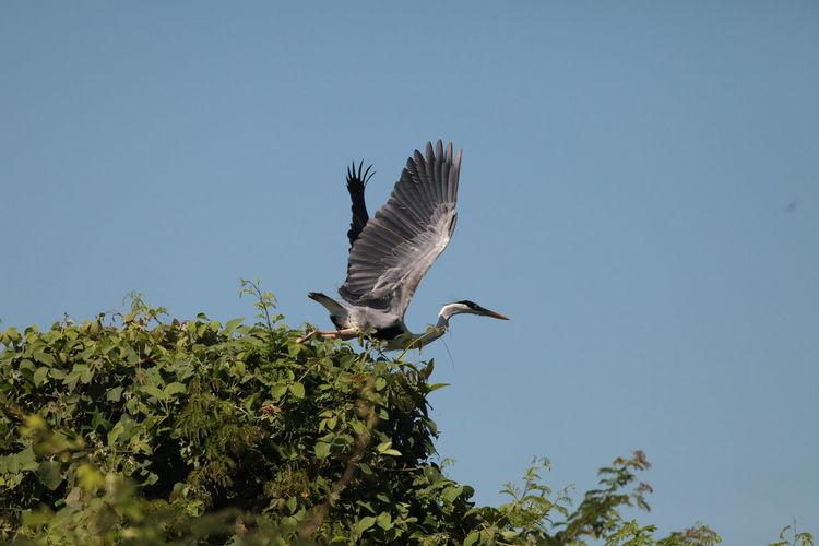Heron Maguari