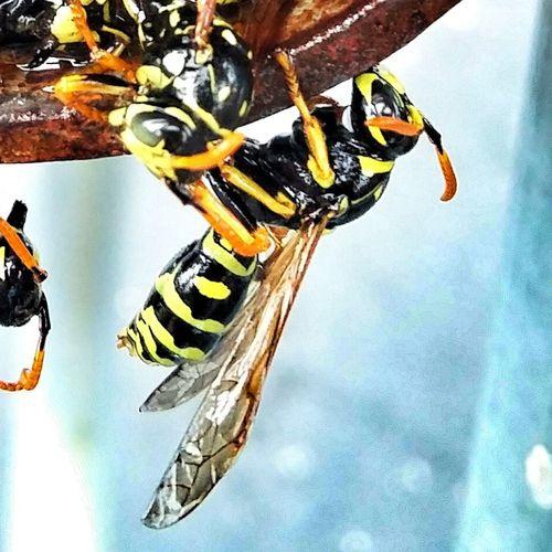 Bees Yellowjacket Yellowandblack Bugs Nature Insects  Abugslife MACO Eyeeminsect Colour Of Life