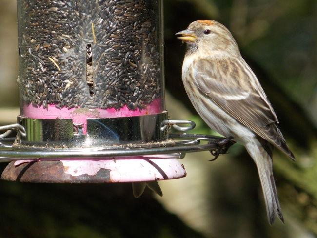 Bird Photography Bird Watching Birds Of EyeEm  Birds_collection Birdwatching English Garden Finch Finches Nature Nature Photography Nature_collection Redcap