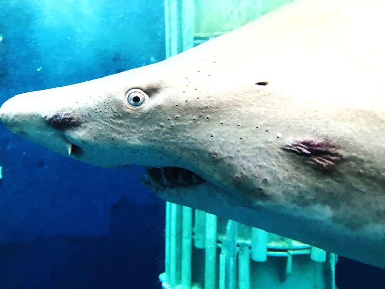 Shark Shark EyeEm Selects One Animal Animal Themes Animals In The Wild Swimming Sea Life Underwater UnderSea Animal Wildlife Aquarium Water No People Close-up